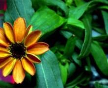 İşte uzayda yetiştirilen ilk çiçek!